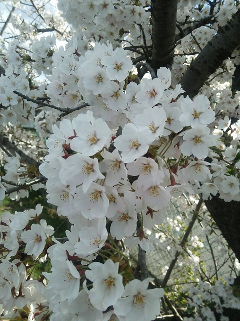 20170424_cherry_blossoms.JPG